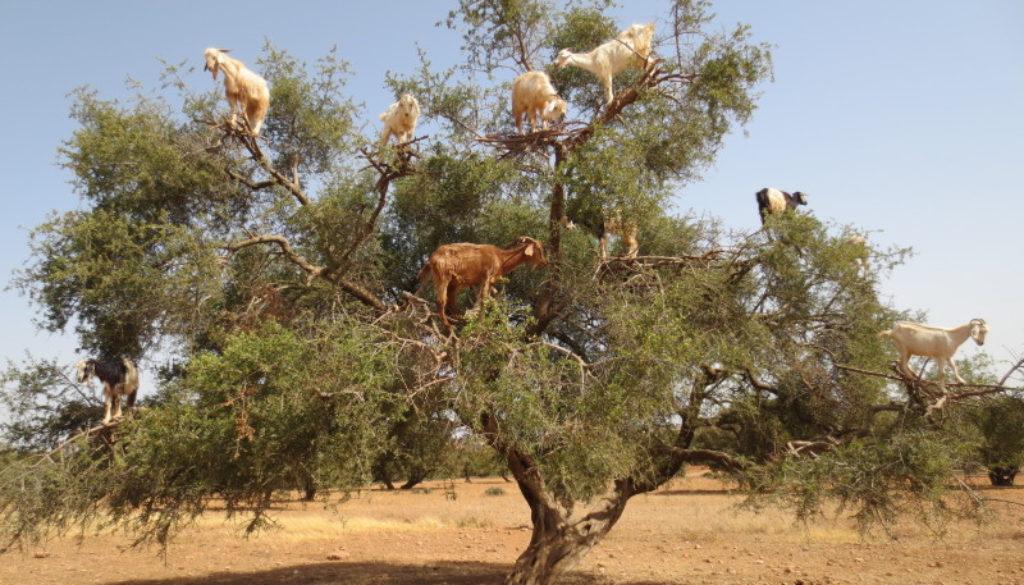 kozy a drzewa arganowe